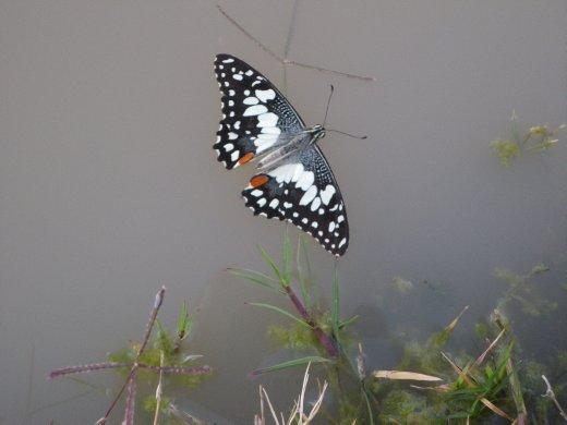 Butterflies dont swim.