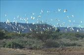 Cockatoos in flight: by dianne_peter, Views[52]