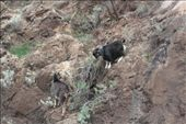 Feral goats: by dianne_peter, Views[61]