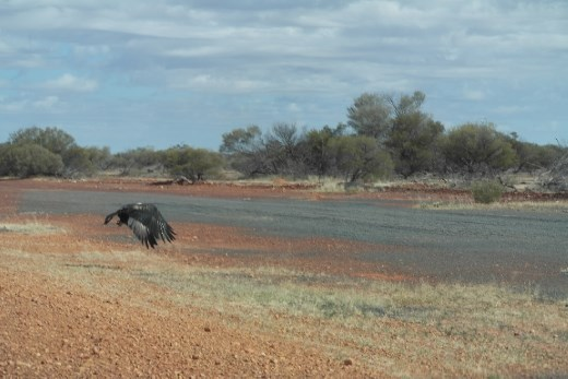Wedge tail eagle having a feed