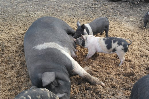 Healthy lot of pigs and piglets.
