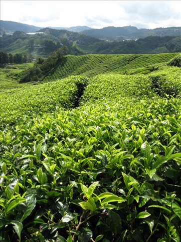 Tea plantation - highlands
