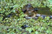 Spectacled caiman, hiding, with an eye for a potential meal: by dieter_turk, Views[82]