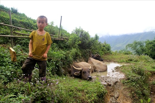 Tasked with looking after the water buffalo, A young boy from the Black H'mong tribe in Vietnam keeps a close distance as they cool off.