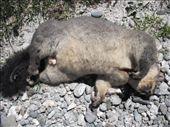 Opossom creuve sur la route: by dkky, Views[214]