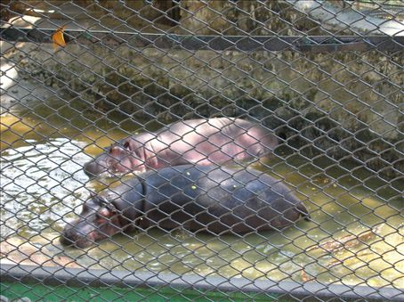 I went to the zoo and I loved the hippos