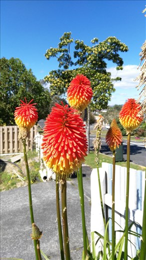 Whangarei, lustige Blume