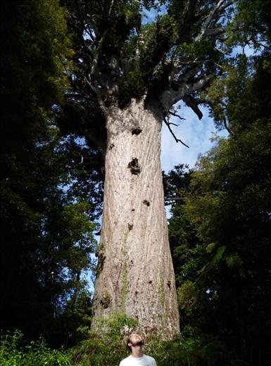 Der größte Kauri-Baum neuseelands!
