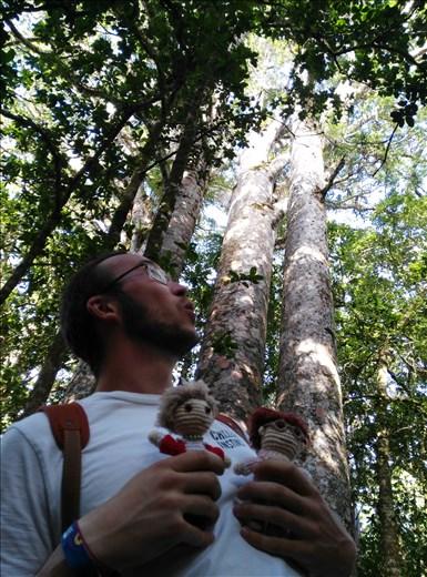 Ein paar Kauri Bäume bestaunen... Die Größten sind heilig.