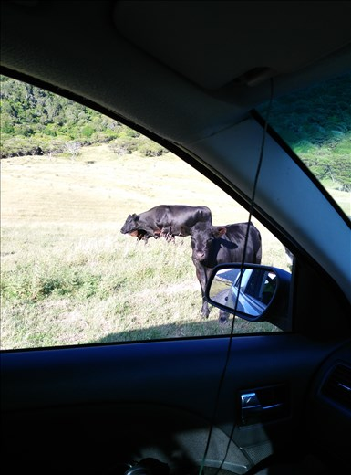 Auf zum East Cape, die Straße ist Weideland 2