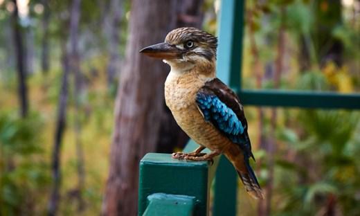 Cookie the Bluewing Kookaburra