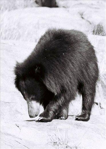 DAROJI IS A PLACE WHERE KARNATAKA STATE TAKING EFFORTS FOR SLOTH BEARS