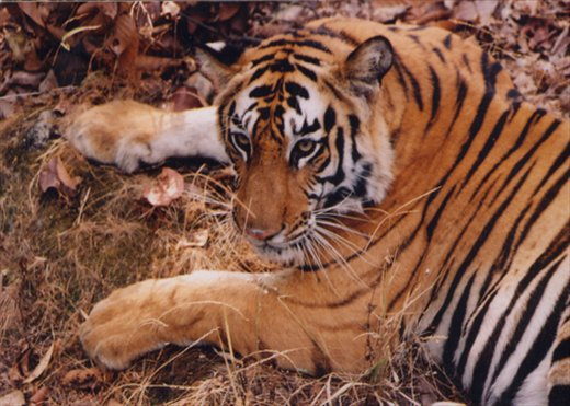 BANDHAVGAD IS A PLACE WHERE YOU CAN SEE TIGERS