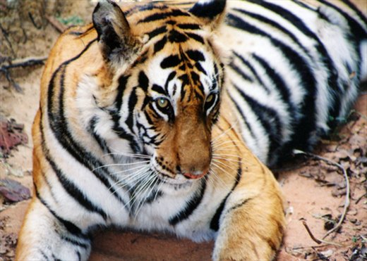 TIGER IS A MAIN LEADER OF ENVIRONMENT