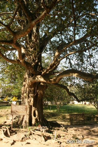 I read that speakers were hung on this tree that broadcasted the cries of people being tortured. What a chilling thought.