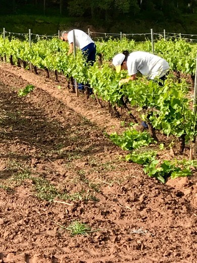 grape trimming Azofra