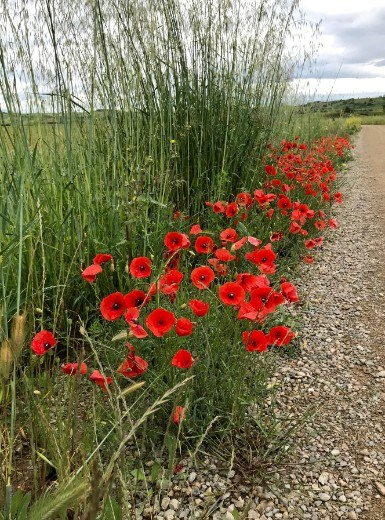 Alescanco red poppies