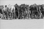 A herd of camels in the pasture. These are used for milk and meat: by dons88, Views[104]