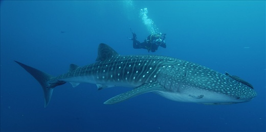 Whale Shark with diver for scale, Courtesy of http://www.blueplanetdivers.org/archives/2006/05/whale_shark_res.php