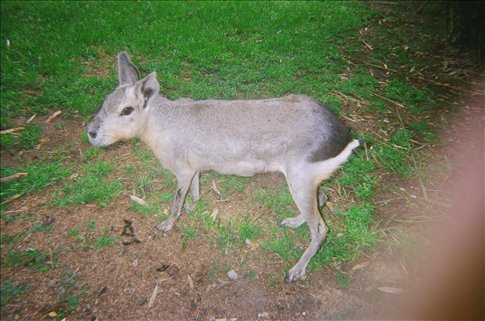 a native animal of Argentina that looks like a rabbit and a deer in one