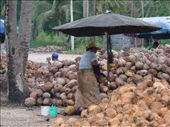 woman shucking coconuts: by drea72, Views[282]