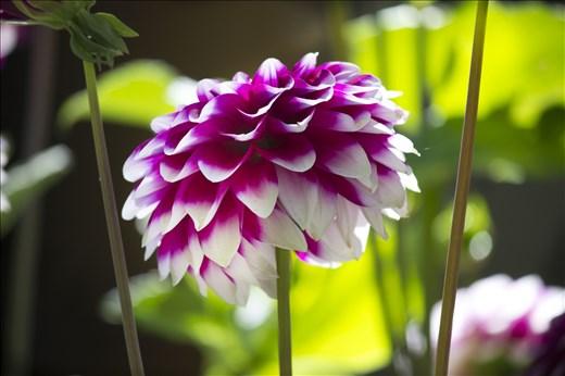 Flowers of Leh