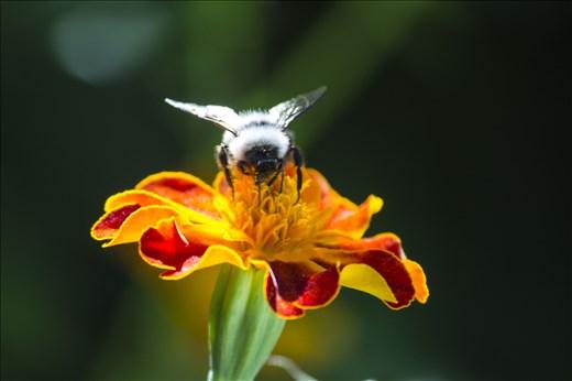 Bees in the garden of Leh