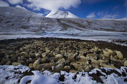 Goat herd avoiding the weather