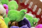 A group of little chickens, injected with color before hatching. They are now being sold at the market in bundles of four as a live toy and are very popular with kids. : by drewsen, Views[389]