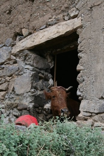 They keep their cows inside - it's a hard old life