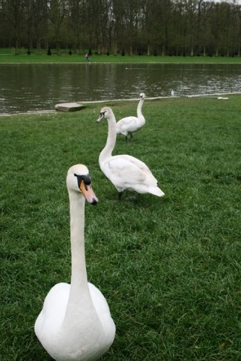 Attack of the palace swans