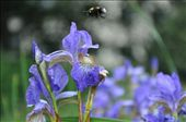 Nature's little worker bees, humming for the sweet success of nectar in the face.: by dsbreit, Views[198]