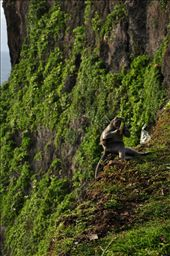 this is a picture of a monkey who rob some tourist snacks,and run to the edge of the cliff,make himself save and enjoy with his dinner.: by dyopamungkas, Views[123]