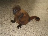 Our pet monkey. His name is Romeo: by eden, Views[148]