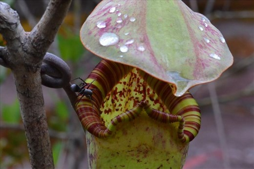 Spider mimicking a mutualistic ant on a Raffles' pitcher-plant