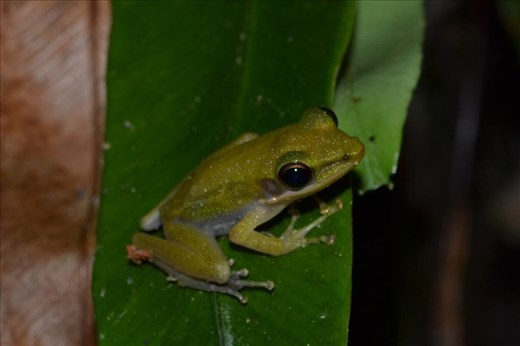 Copper-cheeked frog