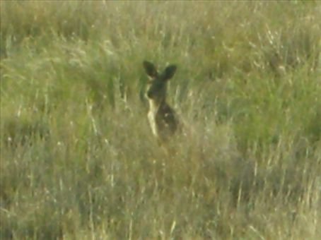 A roo keeping an eye on us in the Ute.  There were load at Cona Creek.