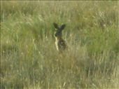 A roo keeping an eye on us in the Ute.  There were load at Cona Creek.: by edinoz, Views[500]