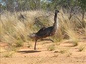 An Emu at the side of the road: by edinoz, Views[202]