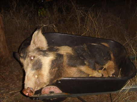 A wild pig in a wheelbarrow at Gleeson Station.  This one will go to the butcher.