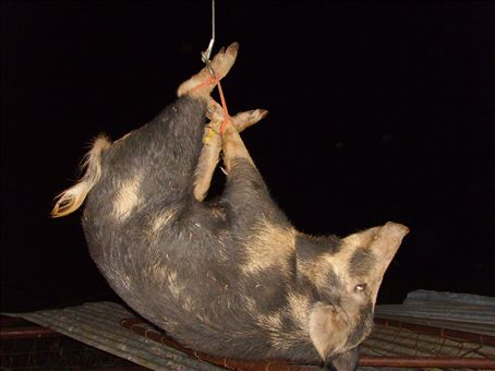 Up-side-down pig.