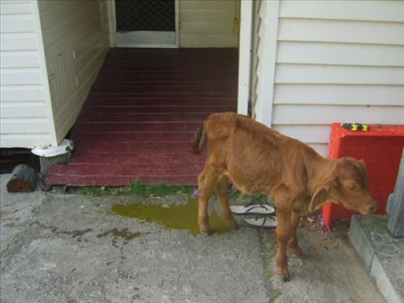 This is our pet calf