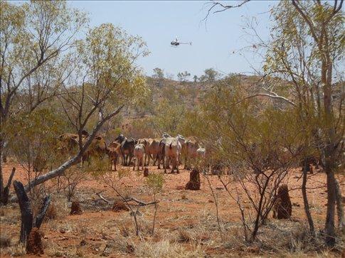 Mark blocking cattle in the chopper