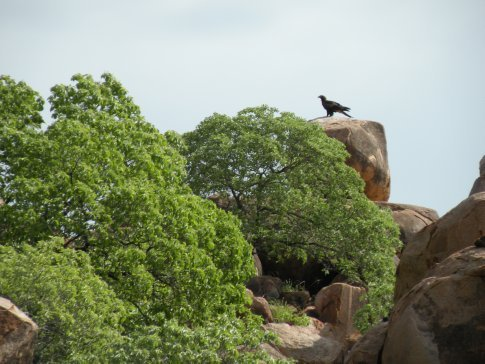 A Wedge Tail Eagle keeping an eye on us