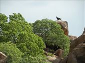 A Wedge Tail Eagle keeping an eye on us: by edinoz, Views[374]