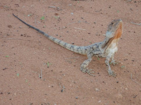 A Frill Neck Lizard on the driveway