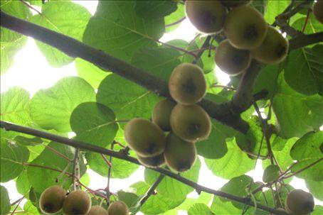 mature kiwi fruit