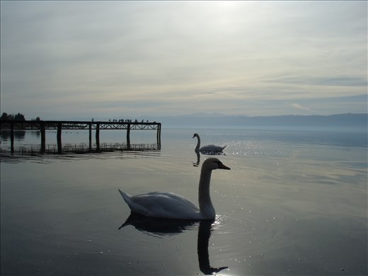 What the mute swans know they share only with the still waters of the lake.