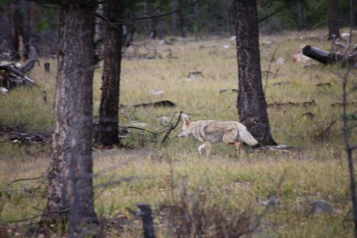 Coyote in the forest. No roadrunners to be seen.