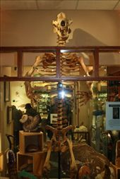 For $30,000 Canadian, the 10' cave bear fossil could be yours.: by elis82, Views[188]